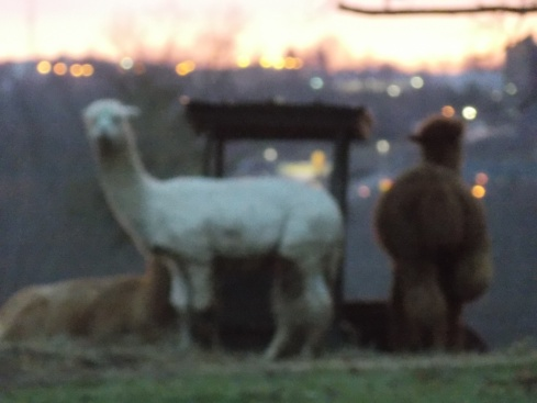 The Llamas of N McKenzie St, Mt Vernon Ohio, at Sunrise